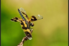 Common_Picture_Wing_(Rhyothemis_variegata)_(2)
