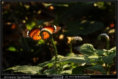 Common_Tiger_Butterfly_(1)